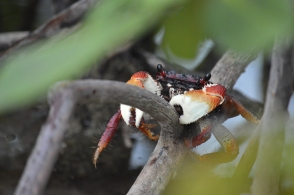 Crab in the mangroves